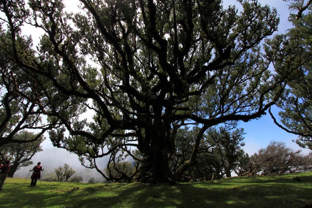 """Christa zeigt unseren Gäste beim Wandern auf Madeira """"ihre"""" Geheimplätze. Zum Beispiel diesen verwunschenen Lorbeerwald."""